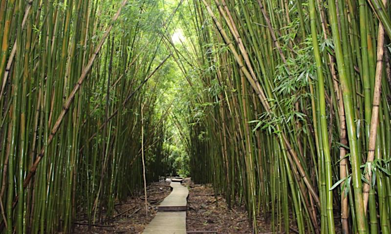 photo of Hike Maui, Bamboo Forest, by jjandames on flickr